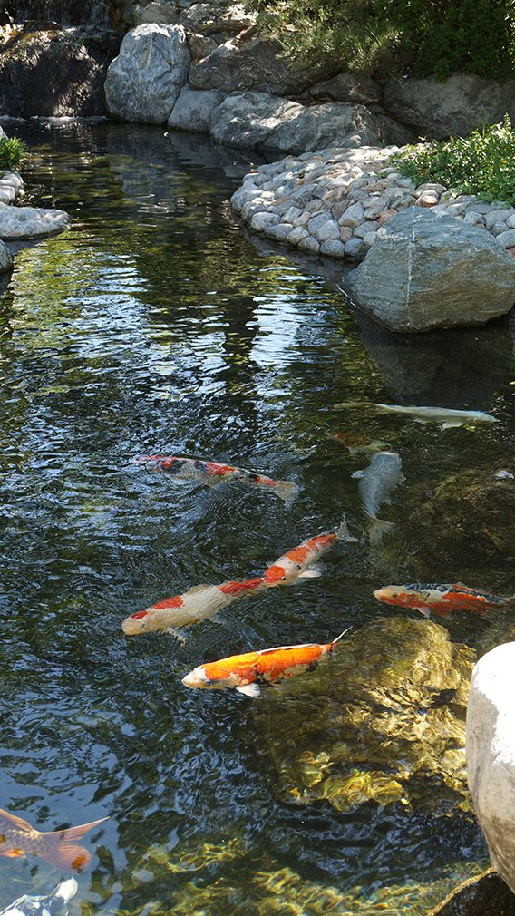 Japanese friendship garden of san diego for Japanese garden san jose koi fish
