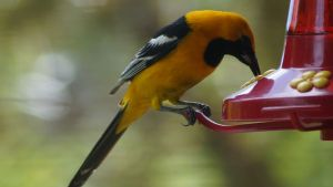 Oriole Bird Eating-from Humming Bird Feeder