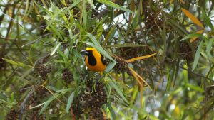 Oriole Bird in Sabre Springs San Diego