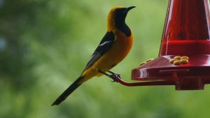 Yellow and Black Oriole Bird San Diego